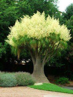 Ponytail Palm tree....
