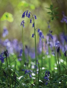 Find out how to plant and grow bluebell bulbs, for a colourful, pollinator-friendly patch in early spring.