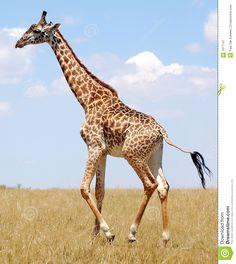 Photo about A masai giraffe walking on the serengeti tanzania. Image of savannah, wildlife, african - 1977147 Animals Of The World, Animals And Pets, Funny Animals, Cute Animals, Masai Giraffe, Cute Giraffe, Giraffes, Giraffe Images, Giraffe Pictures