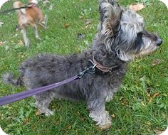 Sheridan, IL - Schnauzer (Miniature)/Poodle (Miniature) Mix. Meet Duchess Myrtle, a dog for adoption. http://www.adoptapet.com/pet/18055403-sheridan-illinois-schnauzer-miniature-mix