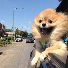 """pomeranian in car =""""Os animais esperam de nós o que nós esperamos dos anjos!"""""""