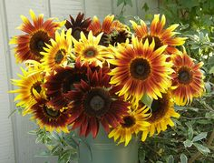 """This is our bi-color """"Royal Flush"""" Sunflower. These are early bloomers and are wonderful for bouquets. #sunflowers #easyfromseed #savethebees"""