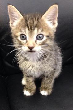 Meet Toby, this little guy is in need of his forever family.Adoption fee: 90.00, includes neuter , microchip and vaccinesThis pet is not at the Cleburne Animal Shelter. To meet this pet please visit the Cleburne Petsense store on West Henderson st....
