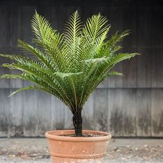 This evergreen Fiji native, known botanically as Blechnum gibbum, sports bright green fronds that add an air of timeless beauty to patios and outdoor areas. Tropical Patio, Dwarf Trees, Flower Identification, Tree Fern, Easy Care Plants, Foliage Plants, Landscaping Plants, Outdoor Areas, Timeless Beauty