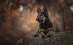 Lataa kuva Saksan Paimen Koira, musta pentu, söpö pikku eläimiä, illalla, metsä, lemmikit