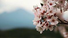 #桜 #さくら #sakura #cherryblossom #鳥取 #tottori #米子 #yonago #米子城跡 #城跡 #ruinsofcastle #癒し #pic #picture #pics