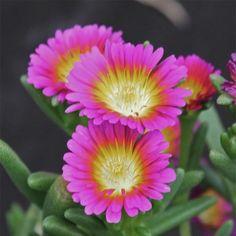 Delosperma Wheels of Wonder Hot Pink - Delosperme rose vif.