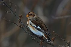 Snow Bunting - Plectrophenax nivalis - Snjótittlingur | Flickr - Photo Sharing!