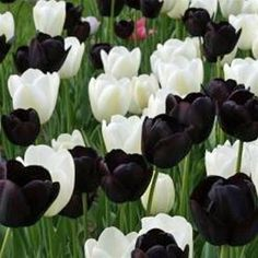 Black & White Mix Single Late Tulip Flower Bulbs x 25 Beautiful Flowers, Bulb Flowers, Planting Flowers, Black Tulips, Black Flowers, Tulips Garden, Tulips Flowers, Pretty Flowers, Spring Flowers