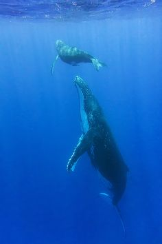 TONGA - Humpback Whales - the - the perfect place to and - experience with Sea Whale, Blue Whale, Orcas, Rettet Die Wale, Save The Whales, Water Animals, Deep Blue Sea, Ocean Creatures, Tonga