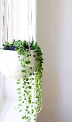 string-of-pearls-indoor