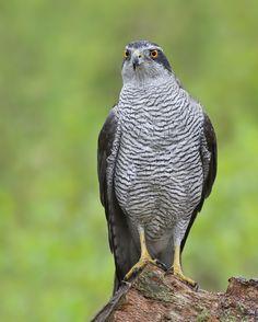Havik  (Van vroegevogels)