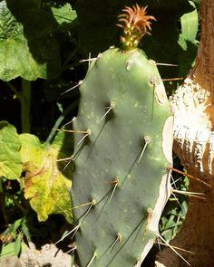 #little #one #opuntia #cactus