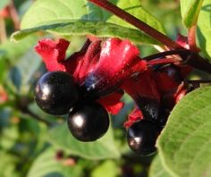 1000+ images about Colorado Native Shrubs on Pinterest | Currant fruit, Xeriscape plants and Plants