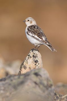 Snow Bunting by Edvard Wendelin