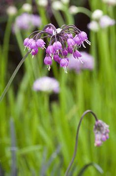 <i>Allium cernuum</i>