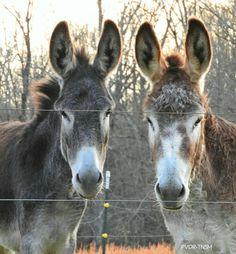 Daisy and Daphne  PVDR-TNSM  ~ Peaceful Valley Donkey Rescue - Smithville, TN  December 2015