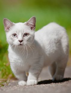 The Napoleon cat is a docile, good-natured and sweet cat. If you are keen in this cat as your pet, read more about the Napoleon cat breed here. Small Cat Breeds, Best Cat Breeds, Cute Cat Breeds, Gato Munchkin, Chats Devon Rex, Gatos Ragdoll, Chat Bizarre, Napoleon Cat, Kitty Cats