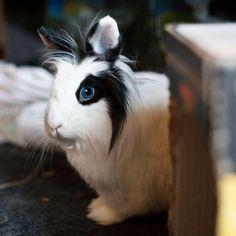 Blue Eyed White Lionhead Rabbit.