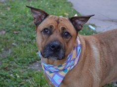 TO BE DESTROYED - SUNDAY - 8/31/14, Brooklyn Center -P  My name is CANDY. My Animal ID # is A1011831. I am a female tan and brown pit bull and rottweiler mix. The shelter thinks I am about 4 YEARS old.  I came in the shelter as a OWNER SUR on 08/25/2014 from NY 11216, owner surrender reason stated was PERS PROB.