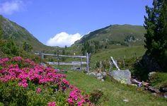 Almrausch = Alpenrosen Blüte in den Kärntner Nockbergen. Die Almböden färben sich pink und lassen das Grün der Almen und das Blau des Himmels noch mehr erstrahlen.