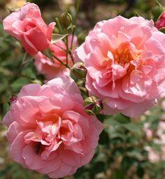 klimroos 'Orange Pekoe' - Scarman (2007). Uitbundig en bijna ononderbroken bloeiend met halfgevulde, regenbestendige, roze (snij)bloemen (8-10cm) met lichtgele tinten. Zeer geurig. Bottels indien na half augustus de uitgebloeide bloemen meer weggeknipt worden. Verdraagt goed hitte (Zmuur). Vraagt weinig zorg en is zeer gezond. Tot 3m. BR
