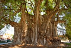The Tules tree is a giant Montezuma cypress in Oaxaca, Mexico. With a circumference of 118 feet, it has the widest trunk of all known trees.