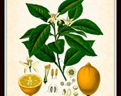 Antique Lemon Botanical Art Print 8x10 - Series Kohler Medicinal Plants 1887 (Shop Belle Botanica store on Etsy)