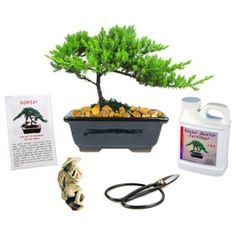 Eves Small Japanese Juniper Bonsai Tree Gift Kit 6 Years Old Complete Bonsai Gift Kit Includes Fertilizer Figurine and Clippers Beautifully Gift Wrapped Outdoor Bonsai >>> Learn more by visiting the image link. (This is an affiliate link) Bonsai Trees For Sale, Bonsai Tree Types, Indoor Bonsai Tree, Indoor Plants, Juniper Bonsai, Bonsai Garden, Glazed Ceramic, Lawn And Garden, Herb Garden