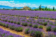 LVE34 - Champs de lavandes à Valensole - Alpes de Haute Provence 04 Lavander, Rhone, Stunningly Beautiful, Trees To Plant, Agriculture, Fields, Places To Go, Images, Photos