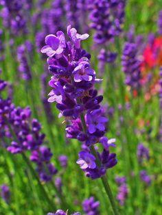 Lavendel Pflanzen ? Tipps Zur Richtigen Pflege Im Garten Oder Im ... Garten Im November Tipps Pflege