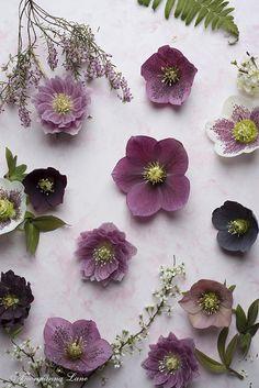 Flowerona Links: With hellebores, a flower market & a ranch... | Flowerona