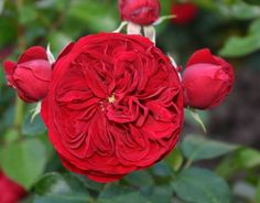Red Riding Hood Fairy Tale+(Palatine+Roses)