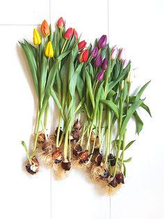 It's tulips season! Tulip Season, Tulip Bulbs, Tulips, Floral Arrangements, Bouquet, Vibrant, Seasons, Pop, Photo And Video