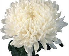 Commercial Mum White - Disbuds/Mums - Chrysanthemum - Flowers by category | Sierra Flower Finder