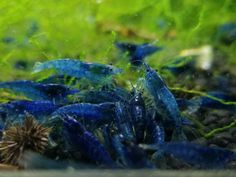Freshwater Aquarium Shrimp, Aquarium Fish, Shrimp Farming, Mini Goats, Shrimp Tank, Blue Dream, Aquatic Plants, Underwater World, Underwater Photography