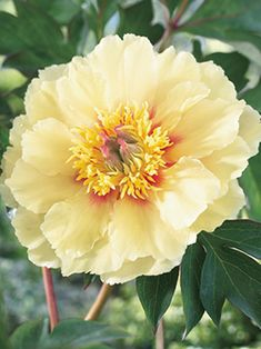 """Peony, Border Charm [Dutch Gardens]  One of the few partial shade peonies I've seen.  Plant Height: 24""""  Spacing: 36""""  Hardy In: 4-8"""