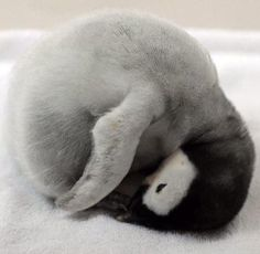 So cute sleeping penguin chick AWW! Cute Baby Animals, Animals And Pets, Funny Animals, Penguin Love, Cute Penguins, Penguin Baby, Beautiful Birds, Animals Beautiful, Animal Pictures