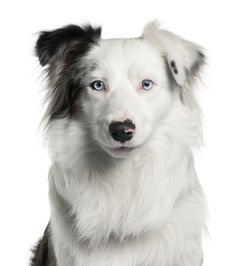 10 stunning facts about the Border Collie