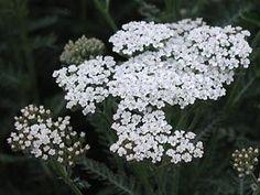 Achillea Filipendulina-Hybride 'Heinrich Vogeler' - Schafgarbe