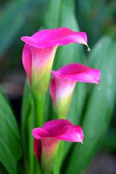 Calla Lillies, Calla Lily, Arte Floral, Tulips, Backyard, Wallpaper, Rose, Bella, Nature