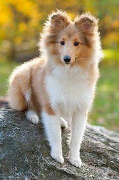 I'm waiting! #ShetlandSheepdogPuppy