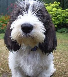 Find Petit Basset Griffon Vendee Puppies For Sale Puppies For Sale, Cute Puppies, Dogs And Puppies, Cute Dogs, Doggies, Petit Basset Griffon Vendeen, Griffon Dog, Animals And Pets, Cute Animals