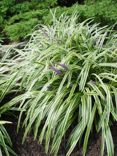Three good, low, groundcover plants for around a weeping Alaska cedar (or other specimen evergreen) are variegated liriope, leadwort and creeping sedum. Variegated Liriope, Liriope Muscari, Garden Trees, Garden Plants, Shade Garden, Garden Art, Garden Design, Late Summer Flowers, Ground Cover Plants