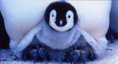 皇帝ペンギン emperor penguin