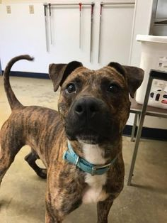 SUPER URGENT - Rascal - NEEDS RESCUE ASAP - Richland County Dog Warden in Mansfield, Ohio - ADOPT OR FOSTER - Young Male Pit Bull Terrier/Boxer Mix - at the shelter since December 27, 2017 - I was very scared when I first arrived. I still bark when people past my kennel but once you get me out, I am a big lover boy. I need URGENT MEDICAL ATTENTION on my tail. I desperately need a rescue to help me.  PLEASE SHARE