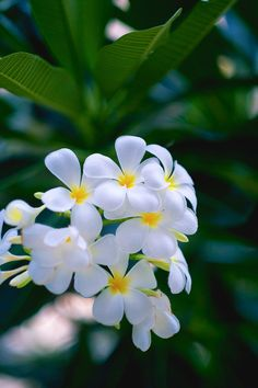 Plumeria in the sun - Rare Flowers, Flowers Nature, Exotic Flowers, Amazing Flowers, Beautiful Roses, White Flowers, Beautiful Flowers, Plumeria Flowers, Hawaiian Flowers