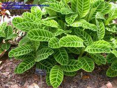 Calathea zebrina (Zebra Plant) - 3-4'x4', ps/shade, zone 10a so frost sensitive.