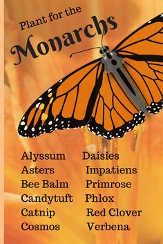 Want to save the Monarch Butterflies? Plant these annuals and perennials.