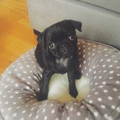 Nala Is Adorable! Zoella And Alfie's Pug!